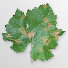 http://upload.wikimedia.org/wikipedia/commons/thumb/d/d6/Plasmopara_viticola_000.jpg/230px-Plasmopara_viticola_000.jpg