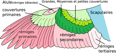 Plumage aile dorsale.png