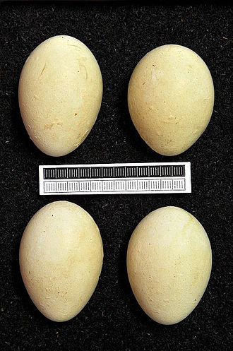 Great crested grebe - Eggs, Collection Museum Wiesbaden, Germany