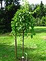 Podlaskie - Suprasl - Kopna Gora - Arboretum - Morus alba 'Pendula' - plant.JPG