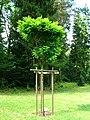 Podlaskie - Suprasl - Kopna Gora - Arboretum - Robinia pseudoacacia 'Umbraculifera' - plant.JPG