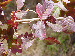 Toxicodendron diversilobum - Image: Poison Oak Red Phase