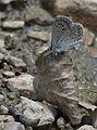 Polyommatus syriaca - Çokgözlü Levantin Çillimavisi 04.jpg