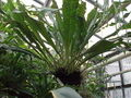 Polypodium crassifolium1.jpg