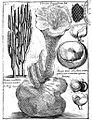 Polyporus-tuberaster-(Boccone-t.300).jpg
