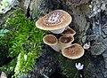 Polyporus squamosus (Huds.) Fr 325442.jpg