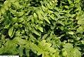 Polystichum acrostichoides 6zz.jpg