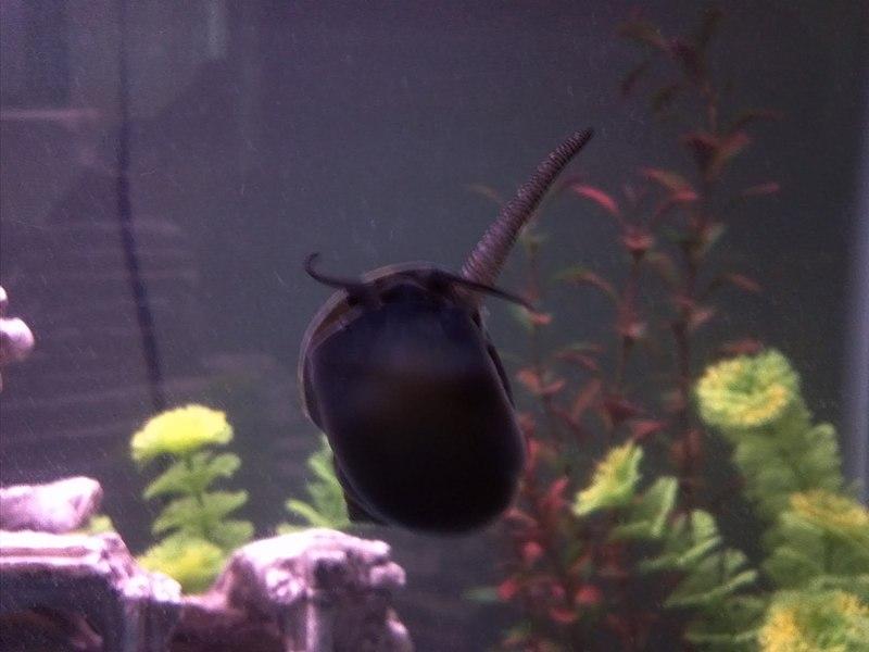 File:Pomacea snail siphon.jpg