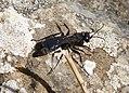 Pompilid Wasp (33531810815).jpg