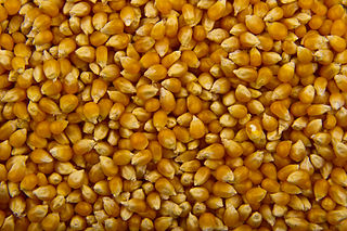 Popcorn A variety of corn kernel, which expands and puffs up when heated