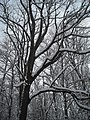 Poplar tree in the yard - panoramio.jpg