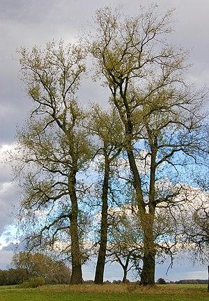 Populus - Populus nigra in autumn