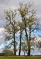 PopulusNigra3.jpg