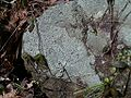 Porpidia albocaerulescens heritori02.jpg