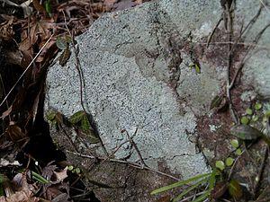 Porpidia - Image: Porpidia albocaerulescens heritori 02