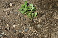 Portulaca with root 001.JPG