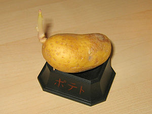 Potato sprout, January 23, 2006.jpg