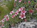 Potentilla nitida, pink cinquefoil (6114589347).jpg