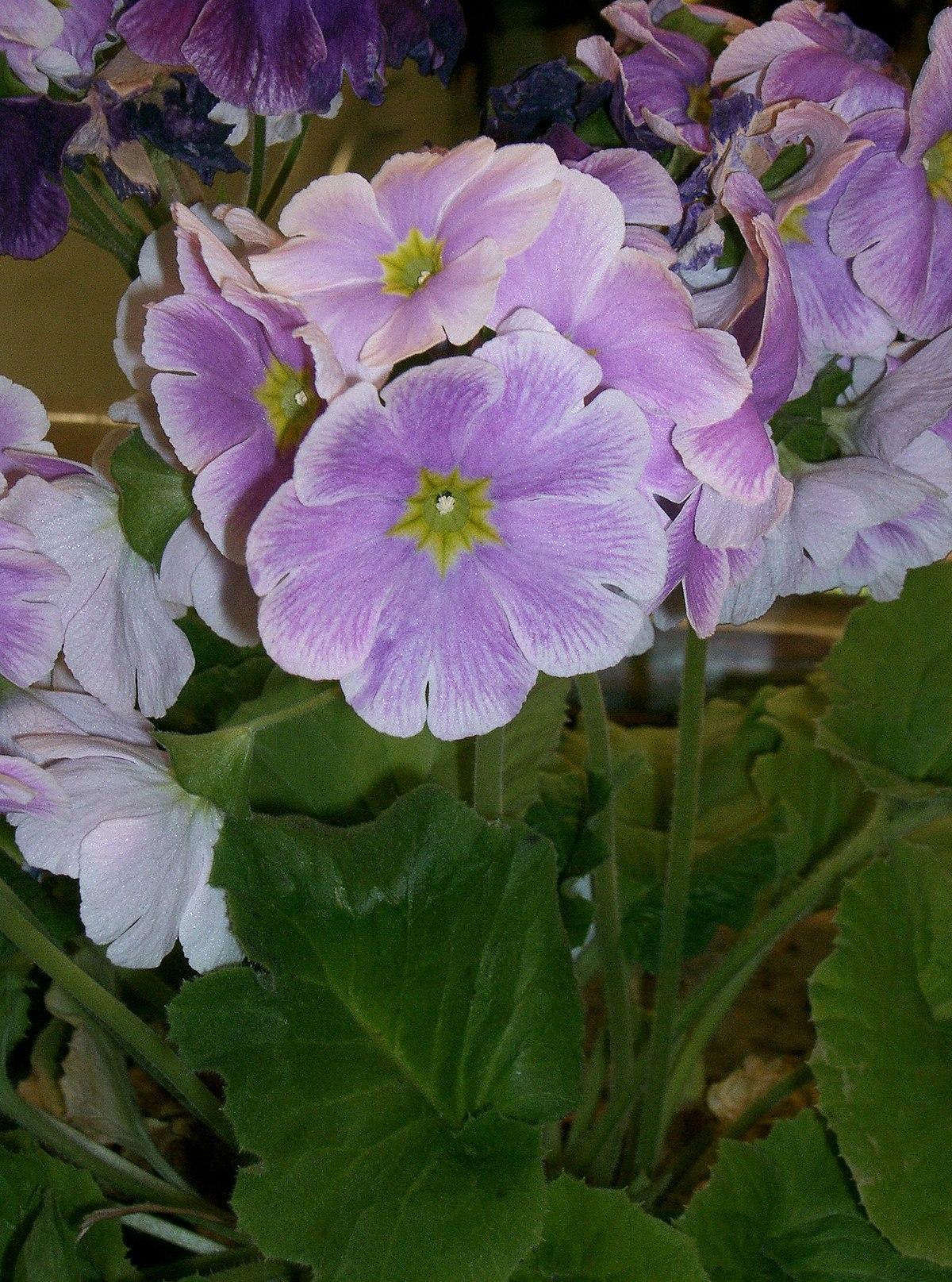 Primula obconica wikipedia for 6 plantas ornamentales