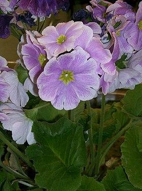 jard n de plantas ornamentales de chongqing wikipedia