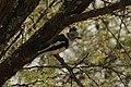 Prionops poliolophus -Serengeti, Tanzania-8.jpg