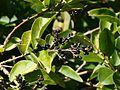 Privet berries - Flickr - S. Rae.jpg