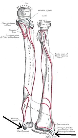 Radius (Anatomie) – Wikipedia