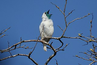 Bare-throated bellbird species of bird