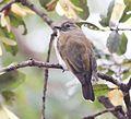 Prodotiscus zambesiae, Cuito-rivier, Birding Weto, a.jpg