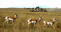 Pronghorns with a Challenger 2 tank, Alberta MOD 45149590.jpg