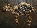 Propalaeotherium messelense.JPG