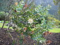 Protea aurea subsp. potbergensis bush.jpg