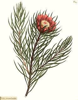 <i>Protea canaliculata</i>