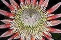 Protea cynaroides 1DS-II 1-C4625.jpg