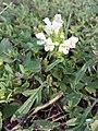 Prunella laciniata sl24.jpg
