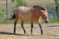 Przewalski's Horse at The Wilds.jpg