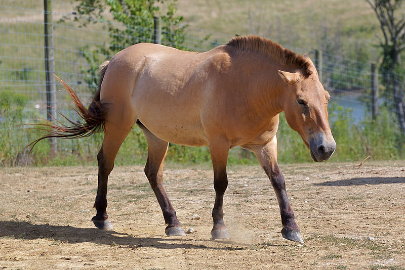 File:Przewalski's Horse at The Wilds.jpg