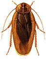 Pseudophoraspisfruhstorferi.jpg