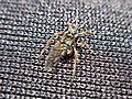 Pterocomma salicis (Aphididae) - (male imago), Arnhem, the Netherlands - 2.jpg