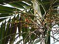 Ptychosperma macarthurii (4631151776).jpg