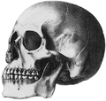 Puelche skull Patagonia Mongoloid Crania Americana 1839 Samuel George Morton.png