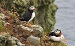 Puffin posers (14459653227).jpg