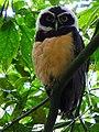 Pulsatrix perspicillata -Manizales, Caldas, Colombia-8.jpg