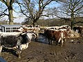 Pure Bred English Longhorn Cattle - geograph.org.uk - 1180328.jpg