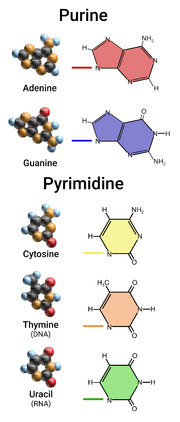 Purine and Pyrimidine.png