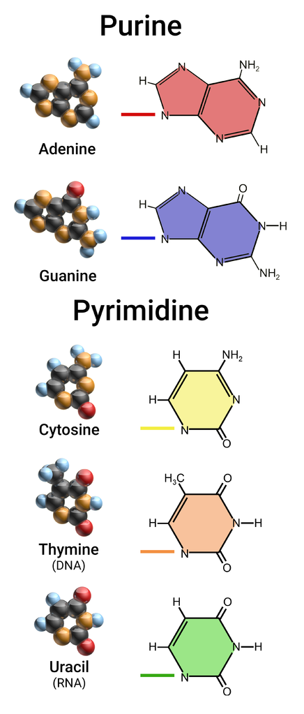 dna purines and pyrimidines bases in a relationship