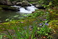Purple-wildflowers-forest-waterfall - West Virginia - ForestWander.jpg