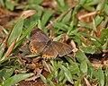Purple Sapphire (Heliophorus epicles) in Samsing, Duars, West Bengal W IMG 6027.jpg