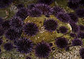 Purple Sea Urchin - Strongylocentrotus purpuratus (16455860102).jpg