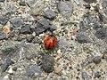Putten - Zevenstippelig lieveheersbeestje (Coccinella septempunctata) (4831317071).jpg